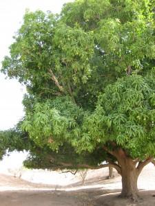 mango.tree.1